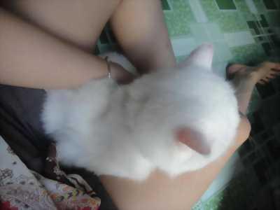 mèo ba tư mắt tịt thuần chủng màu trắng