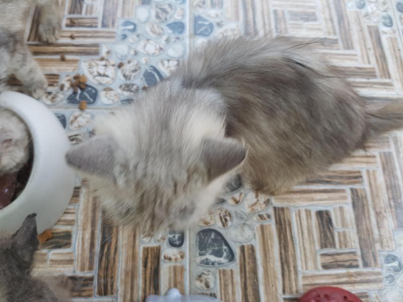 Mèo Ba tư cái trưởng thành