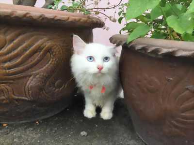 Mèo Ba Tư lai Nga
