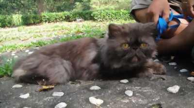 Vì vài lý do nên mình muốn bán gấp em mèo Ba Tư thuần 100% với giá cực sốc.