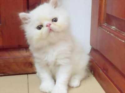 Bé mèo lai Ba tư đực, 6 tháng tuổi