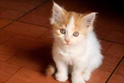 Mèo anh lai ba tư tìm chủ mới