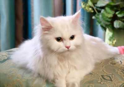 Bán mèo ba tư lông trắng