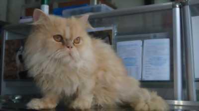 Con mèo ba tư lông xù