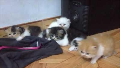Bán 11 mèo con ba tư lai. 2 tháng tuổi. Nhiều màu