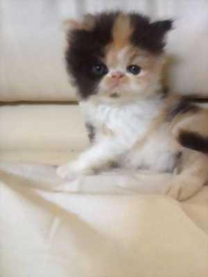 Mèo ba tư thuần chủng giống