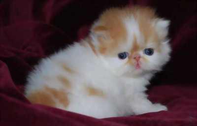 Đàn mèo Ba Tư mặt tịt sẵn sàng về nhà mới đầu tháng 3/2017