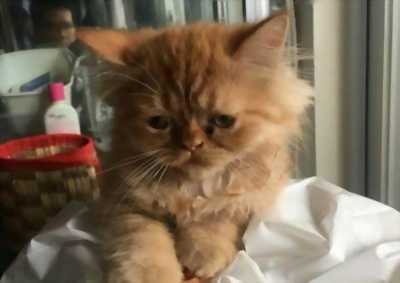 Bán chú mèo Ba Tư