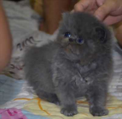 Bán mèo cái ba tư thuần chủng