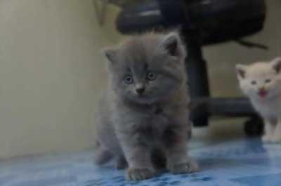 Hai bé mèo 34 thuần chủng cute lạc lối