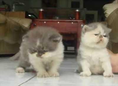 Cần bán mèo tai cụp xám xanh cực yêu, ba mẹ mới yêu thương đến đón các bé nhé
