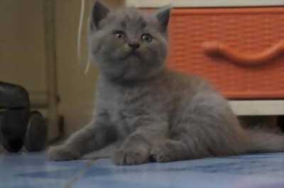 Bé mèo ba tư đực thích hợp làm giống Hiện