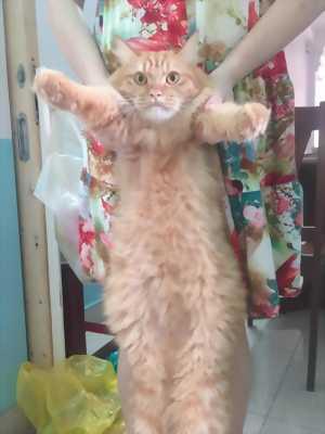 Mèo ba tư ( gần 1 năm tuổi)