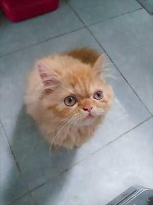Cần tìm chủ mới cho bé mèo Ba Tư