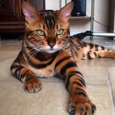 Bán cặp mèo vện như hổ tuyệt đẹp