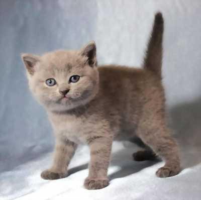 Mèo anh lông ngắn hyma, màu hiếm tại Bình Dương