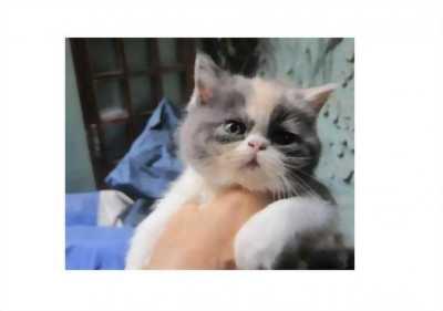 Mình cần nhượng lại một chú mèo BA TƯ được 2 tháng tuổi, được mẹ nuôi từ bé với giá hữu nghị
