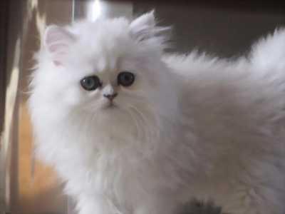 Bán em mèo Ba Tư đực màu trắng.