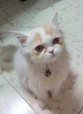 Bán giá rẻ mèo ba tư 4 tháng tuổi