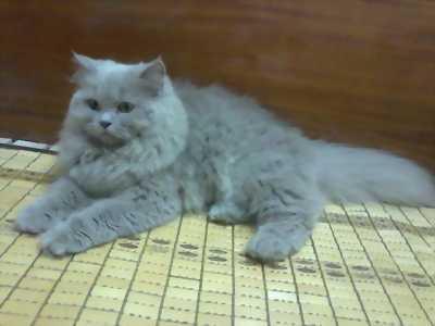 Bán giá sốc mèo ba tư hiền lành ngoan ngoãn