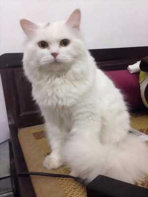 Bán gấp một em mèo Ba tư lông trắng dài cực sang chảnh với giá siêu sốc.