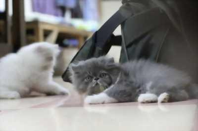 Cần bán lại đàn mèo Ba Tư giá hữu nghị