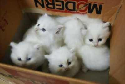 Cần bán lại cho chủ mới em mèo Ba Tư con dễ thương