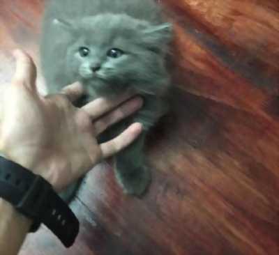 Cần bán lại em mèo Ba Tư con tinh khôn
