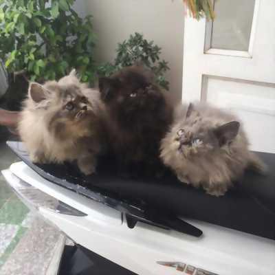 Cần bán lại em mèo Ba Tư cúp bế dễ thương