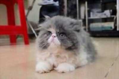 Cần nhượng lại em mèo Ba Tư mặt tịt đáng yêu