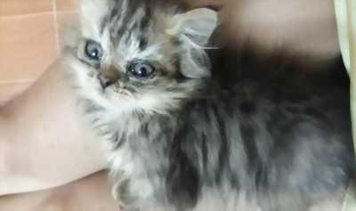 Cần nhượng lại bé mèo Ba Tư giống lai chuẩn hiếm
