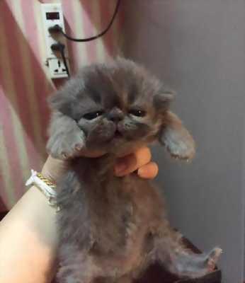 Cần nhượng lại và tìm nhà mới cho hai bé mèo Ba Tư dễ thương