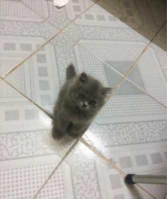Cần bán lại em mèo Ba Tư mặt gãy độc đáo