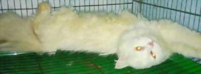 Cần bán lại em mèo Ba Tư lai Anh đẹp tuyệt vời