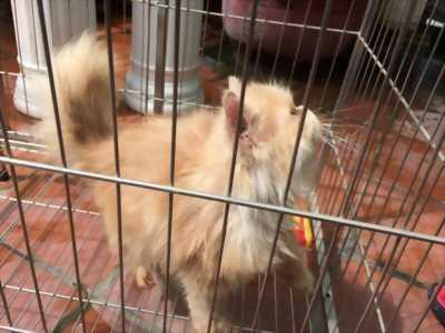 Giá tốt đi ngay cho chú mèo Ba Tư lông vàng
