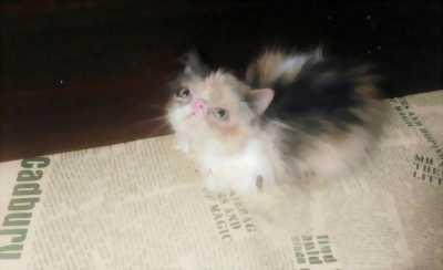 Giá shock em mèo Ba Tư mặt tịt so cute
