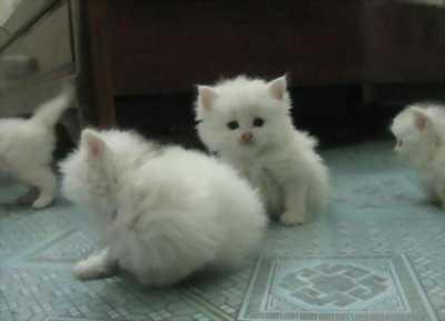 Deal tốt 2 bạn mèo Ba Tư lai Anh