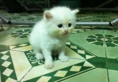 Ra đi nhanh mèo Ba Tư lai đời F3 giá bao rẻ