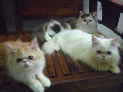 Nhượng lại mèo Ba Tư giống thuần giá hữu nghị