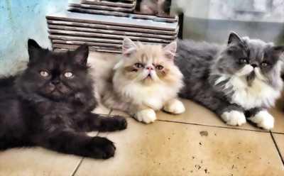 Mèo 34 con mặt bánh bao lông xù như bông .