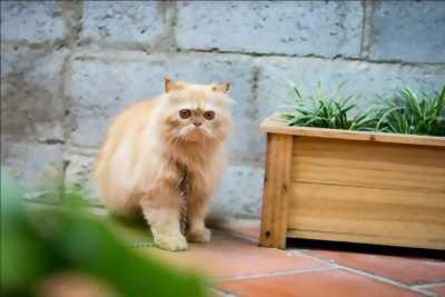 Mèo Ba Tư lai Anh Lông Dài hơn 2 tuổi nặng 3kg5