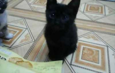 Cần bán mèo con màu đen