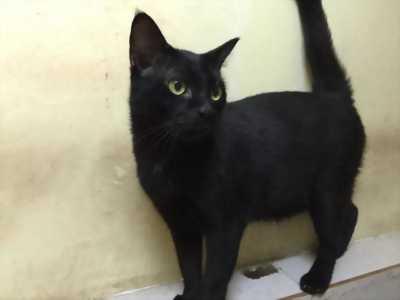 Mình bán mèo con lông đen tuyền rẻ như cho