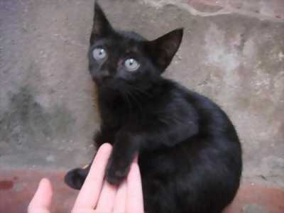 Mèo đen con lai mắt ánh xanh, đuôi to giá hạt dẻ