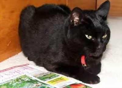 Mèo mun đen tuyền 6 tháng tìm chủ mới