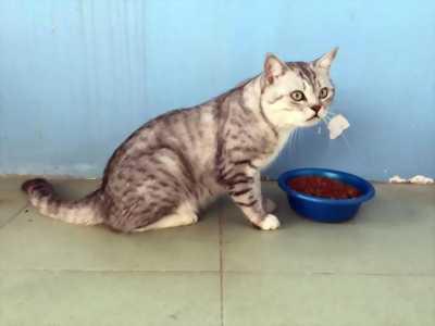 Bán mèo Anh lông ngắn(Aln)