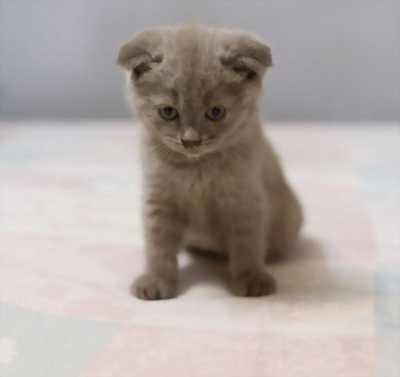 Mèo đực tai cụp
