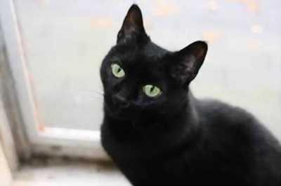 Mèo mun đen tuyền rất thông minh, lanh lợi, khỏe mạnh và dễ thương.