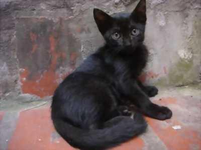 Cần bán bé Mèo mun rất hiền gấp cho chủ mới tốt bụng