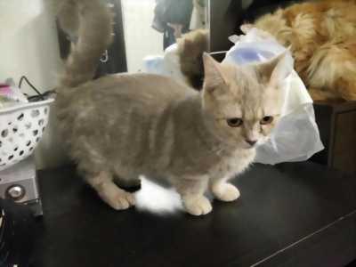 Cần bán bé mèo munchkin(chân lùn) 11 tháng